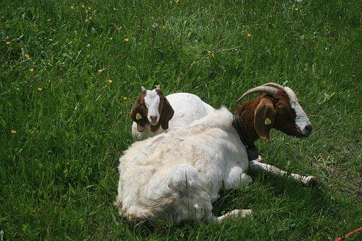 Goat, Kid, Farm, Animal, White, Mammal, Domestic, Cute