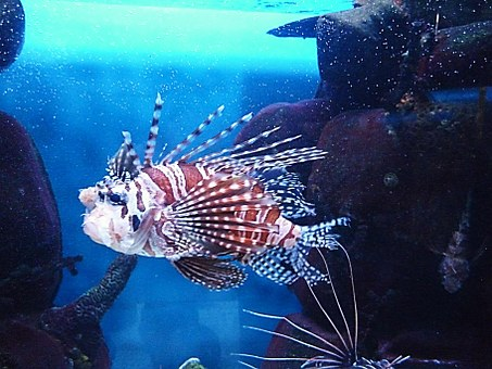 Fish, Unusual, Red Lionfish, Venomous, Color