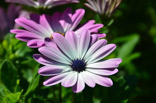 Margarita, African Daisy, Osteospermum Ecklonis, Flower