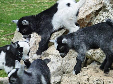 Kid Goats, Goats, Kid, Farm, Animal, Nature, Baby