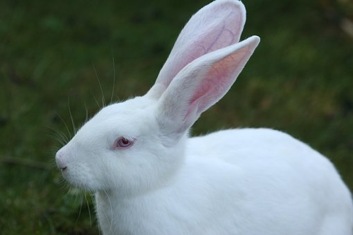 Rabbit, White, Ears Big, Humane Attitude, Hare