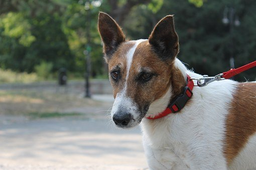 Jack, Jack Russell, Dog, Animal, Pet, Terrier, Cute
