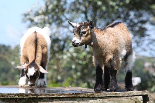 Kid Goats, Farm, Cornwall, Goat, Kid, Animal, Cute