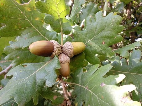 Acorns, Plant, Tree, Oak, Nature, Leaves, Foliage