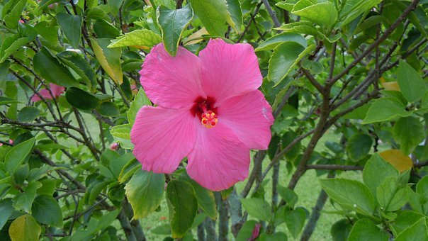 Hibiscus, Pink, Flowers, Petals, Blossoms, Blooms