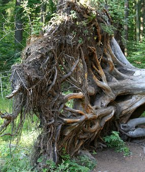 Root, Tree Root, Pulled Out, Upset, Bavarian Forest
