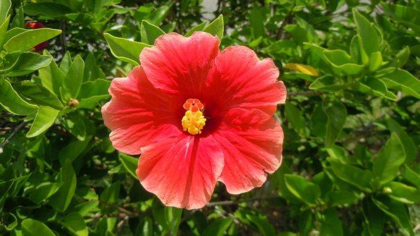 Hibiscus, Red, Orange, Petals, Blossoms, Blooms