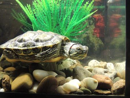 Tortoise, Amphibians, Red-eared Slider Turtle