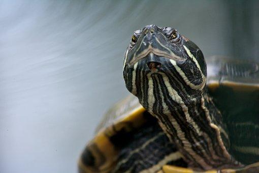 Turtle, Reptile, Giant Tortoise, Animal, Panzer