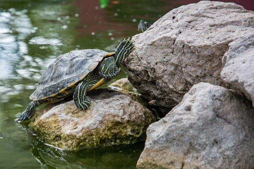 Turtle, Amphibian, Reptile, Animal, Tortoise, Shell