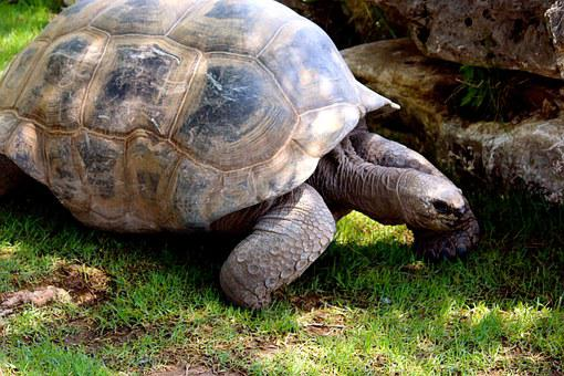 Turtle, Tortoise, Shell, Animal, Crawl, Nature, Slow