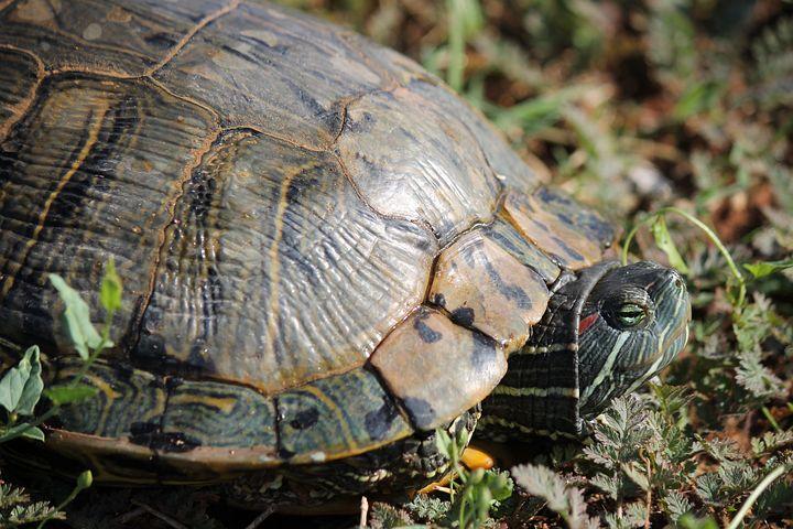 Turtle, Tortoise, Reptile, Shell, Wildlife, Nature