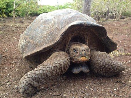 Turtle, Tortuga, Tortoise, Animal, Shell, Wildlife