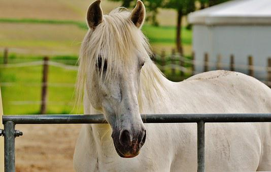 Horse, Coupling, Stallion, Eat, Paddock, White, Meadow