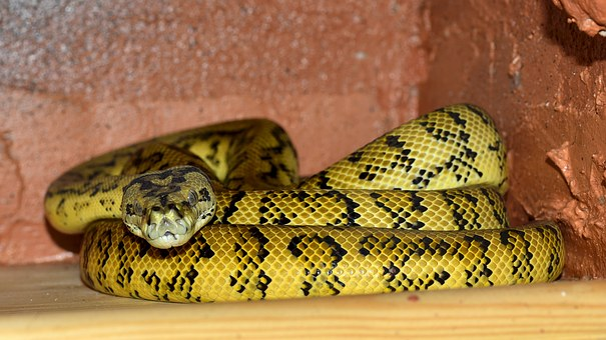 Snake, Bundled, Yellow Black, Python, Reptile, Animal