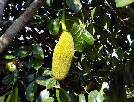 Jackfruits, Trees, Yellow, Large, Big, Fruits, Foods