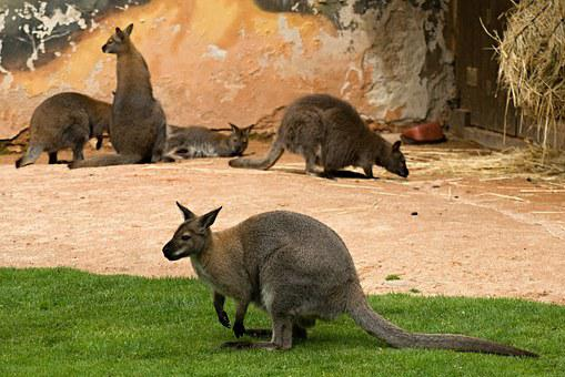 Kangaroo, Kangaroos, Zoo, The Zoological Garden, Deep N