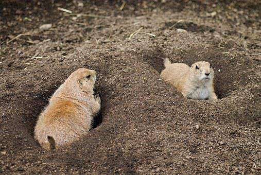 Black-tailed Prairie Dog, Zoo, The Zoological Garden