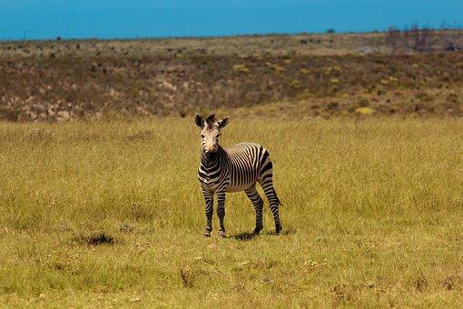 Zebra, Africa, Wildlife, Nature, Animal, South, Equus
