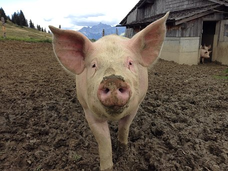 Pig, Agriculture, Nature, Happy Pig, Domestic Pig, Farm