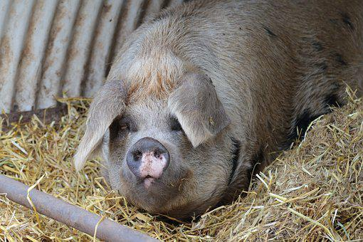 Pig, Farm, Pork, Agriculture, Swine, Livestock, Piglet