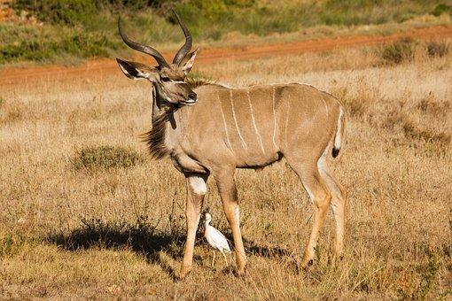 Kudu, Animal World, South Africa, Animal, Wild Animal