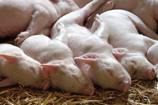 Piglet, Litter, Pig, Young, Animal, Swine, Omnivorous