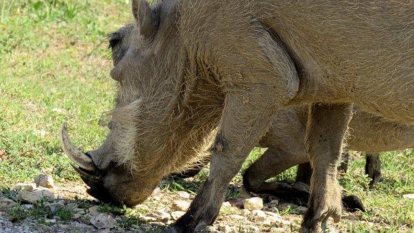 Warthog, Wildlife, Addo Elephant Park, Africa, Animal