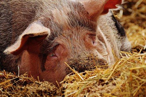 Pig, Sleep, Farm, Animal, Wildlife Photography