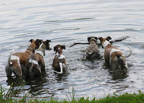 Nature, Animals, Dogs, House Pet, Greyhounds, Whippets