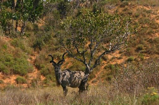 Kudu, South Africa, Nature, Wildlife, Antelope, Animal