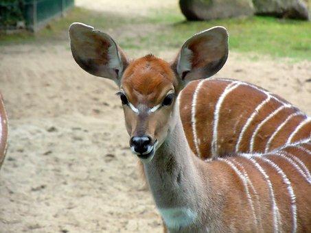 Antelope, Small Kudu, Kudu, Tragelaphus Inberbis