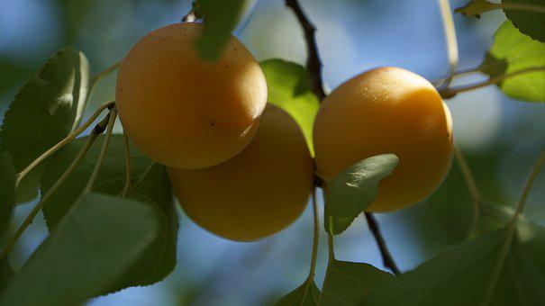 In Rural Areas, North, The Scenery, Apricot, Shadow