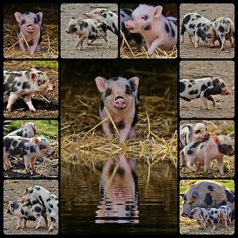 Piglet, Wildpark Poing, Collage, Baby, Small Pigs, Cute