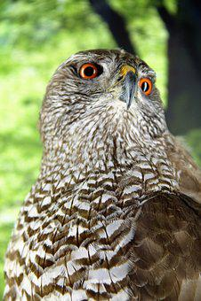 Hawk, Bird-of-year-2015, Accipiter Gentilis, Raptor