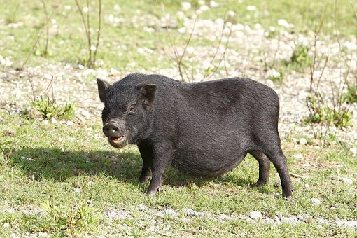 Potbellied Pigs, Pig, Black, Pigs, Delicacy, Portugal