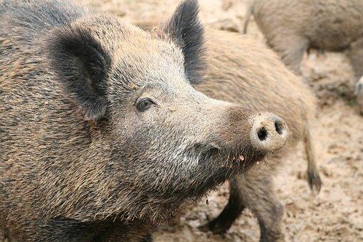 Sow, Boar, Pig, Mammal, Wild, Wild Animal, Animal