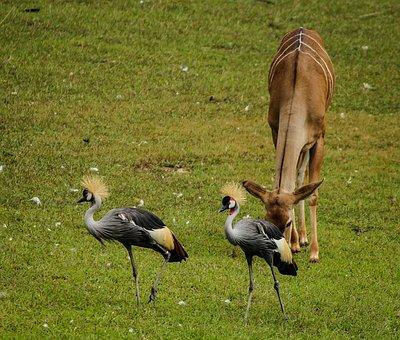 Crane, East African Crowned Crane, Grey Crowned Crane