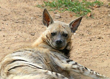 Hyena, Predator, Animal, Wild, Danger, Nature, Evil