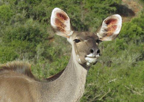 Cape Grysbok, Wildlife, Eastern Cape, Africa, Nature