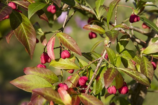 Spindle, Euonymus Europaeus, Pfaff Copings