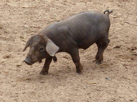 Mallorca, Pig, Piglet, Farm, Animals, Agriculture