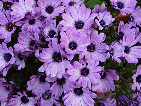 Cape Basket, Flowers, Violet, Purple, Blossom, Bloom