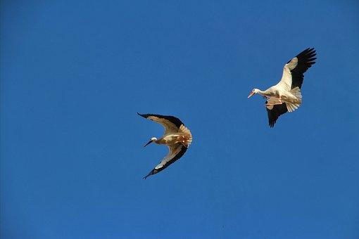 White Storks, Flying, Freedom, African Birds, Blue Sky