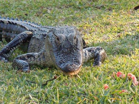 Alligator, Animal, Hir, Nature, Foot, Dangerous, Snap