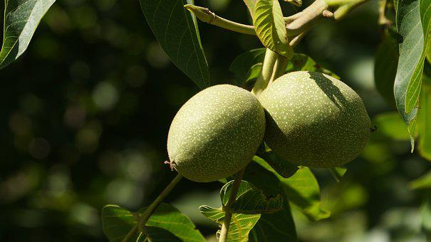 In Rural Areas, North, The Scenery, Summer, Nut, Green