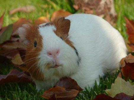 Guinea Pig, Pet, Small, Animal, Adorable, Furry, Friend