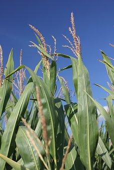 Corn, Missouri, Agriculture, Farm, Rural, Harvest