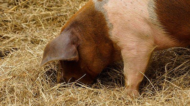 Pig, Piglet, Hay, Agriculture, Farm, Pink, Livestock