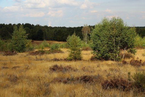 Heide, Heather, Nature, Heathland, Retama, Birch